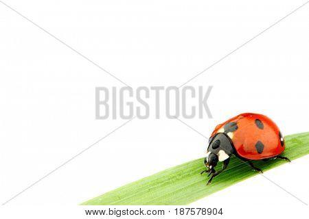 ladybug on grass isolated on white macro