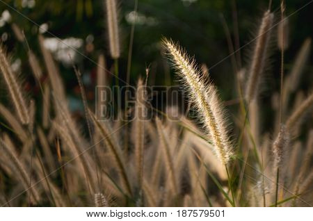 selected focus close-up of a grass flower touched by sunlight stand out from other grass flowers