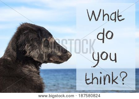 English Text What Do You Think. Flat Coated Retriever Dog Infront Of Ocean. Water In The Background