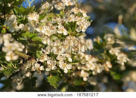 Blooming apple tree branch on a summer morning against a background of white flowers