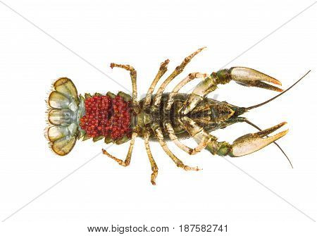 Caviar live crayfish isolated on white background