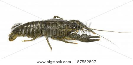 River raw crayfish close-up isolated on white background
