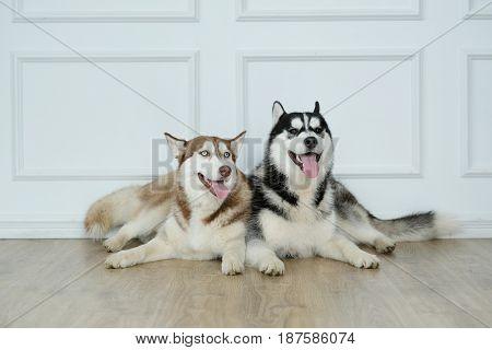 Dog breed. Beautiful husky at home