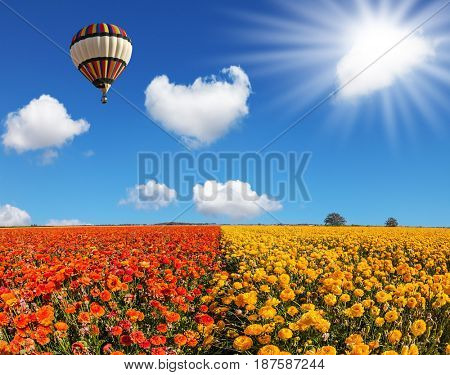 The fields of red and yellow garden buttercups. The spring sun and huge multi-color balloon over the flower field. Concept of rural and extreme tourism