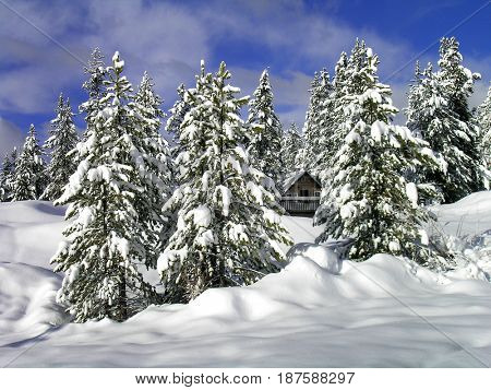 Cozy cabin in the woord in winter snow forest of pine trees