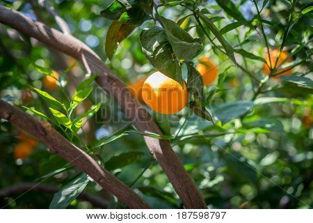 oranges tree