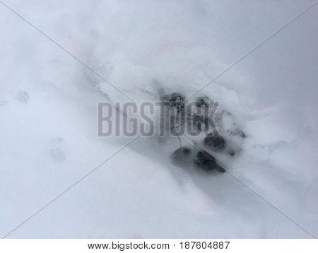 Dog's paw print in December 2016 in Rice, MN