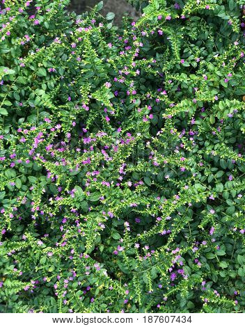 Beautiful garden of cover plant with small purple flower (Cuphea hyssopifolia)