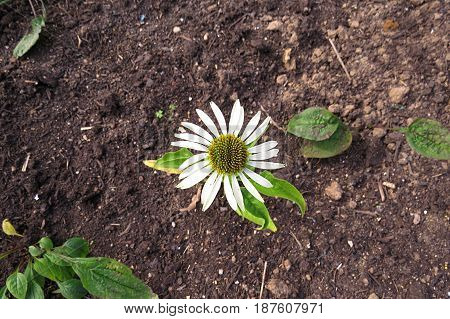 White Echinacea Cone Flower growing in soil dirt garden bed top view