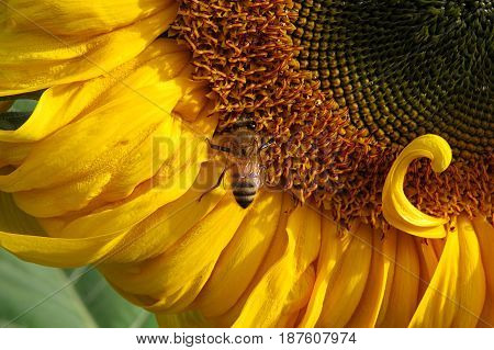 Close-up of a cheerful and bright sunflower sun flower in the garden with bee