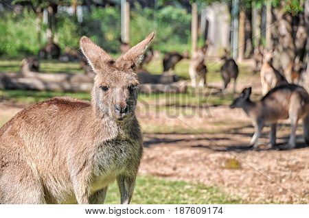 Group of kangaroos in an Australian sanctuary. The photo focuses the one in the front the rest of the kangaroos are in the background