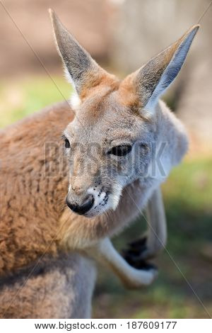 Closeup about a red kangaroo in an Australian sanctuary