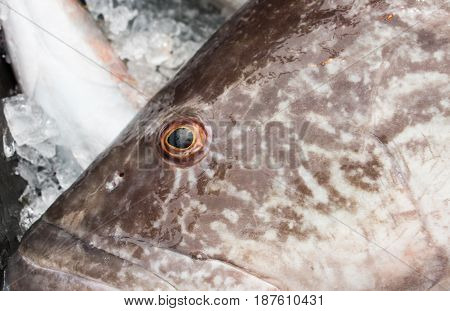 Gag Grouper fish fresh caught close up of head