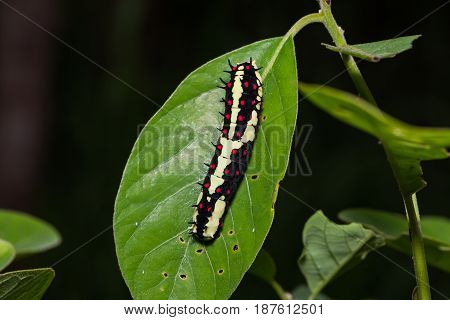 Close up of Common Mime (Papilio clytia) caterpillar on green leaf in nature