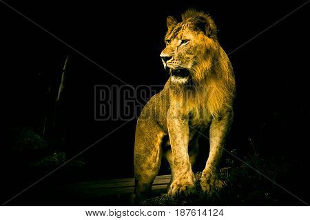 lion, mammal, white, head, majestic, carnivore, male, feline, africa, black, pride, portrait, african, dangerous, cat, king, predator, mane, background, wild, nature, big, animal, safari, wildlife