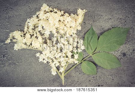 Vintage Photo, Elderberry Flowers With Leaves On Structure Of Concrete