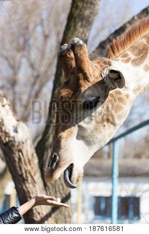 Giraffe is fed by people in the zoo .