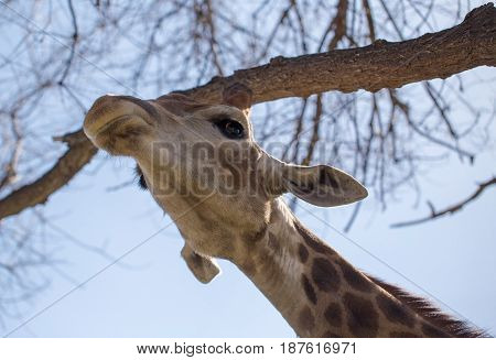 Giraffe on the background of a tree and a blue sky