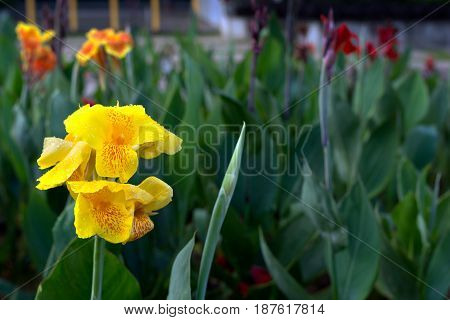 Close Up Of Yellow Canna Indica Flower With Green Plant Back Ground.