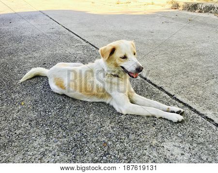 White and Brown Dog Lying on The Empty Concrete Road Wait Owner to Come Back Home.