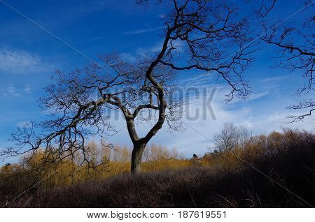 A Garry Oak stands out against the deep blue of the winter sky leafless bushes at its feet. Taken on the edge of Cedar Hill Golf Course Victoria BC.