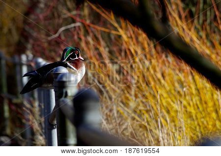 A colourful male wood duck sits on the railing at a park as it looks out at the pond. The bare branches of willow in the background are lit by the late winter sun giving a warm glow to the photo.