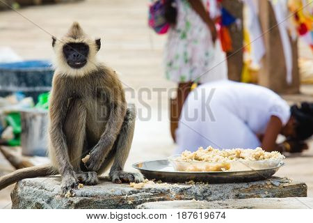 A grey langur steals some rice placed outside a temple while a woman bows down to pray at a temple in Anuradhapura Sri lanka.