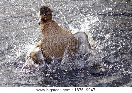 A female mallard duck is caught as she bathes in a pond near Cedar Hill Gulf Course Victoria BC. The spray of water caused by her splashing is back lit by the winter sun.