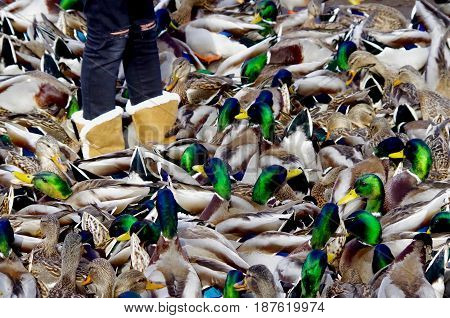 The legs of a young girl in boots are partly obscured by the gaggle of ducks that surround her as she feeds them. The browns of their bodies and the green heads of the male Mallards make a confusing pattern.