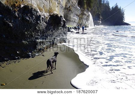 A black dog waits on the beach near the surf as its master plays on a rope swing over the crashing sea. A gorgeous sunny day in February at Mistic Beach Vancouver Island.