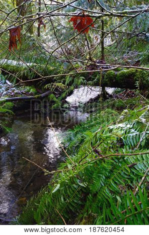 A small stream flows under a fallen tree its banks covered in sword ferns. Photo taken in the morning in the forest near Mackenzie Bight trail Vancouver Island BC.