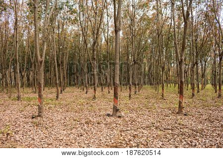 Latex from rubber trees garden nature .