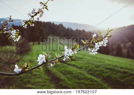 Tree brunch in bloom  at the sunset in the mountains in spring