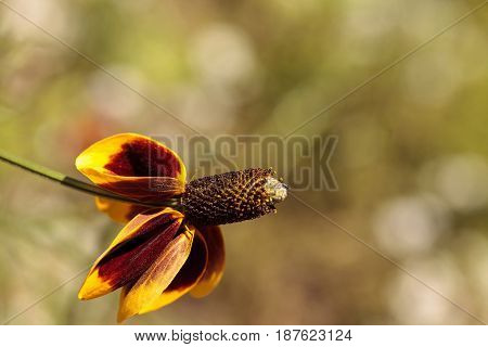 Rudbeckia Yellow And Red Flower, Rudbeckia Maxima, With A Cone Stamen