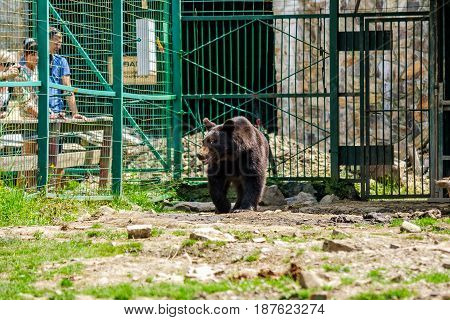 Synevir Ukraine - Jun 21 2014: curious little brown bear in Carpathians. Rehabilitation center near Synevir lake in TransCarpathia Ukraine.