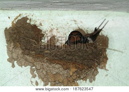 Birds and animals in wildlife. The swallow feeds the baby birds nesting in a car box.
