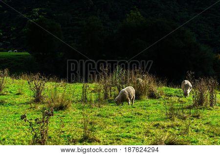 Low key image of Sheep grazing on land New Zealand