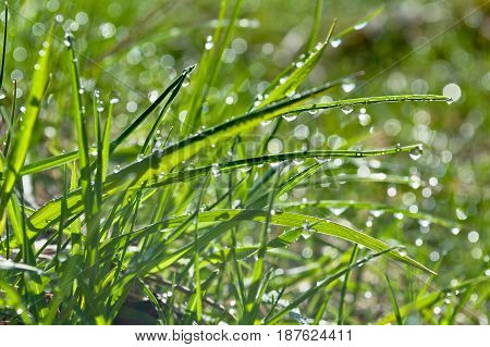 Spring grass is covered with small drops of morning dew. Drops sparkle in the first rays of the morning sun.