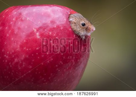 close up of a harvest mouse head appearing emerging from a red apple