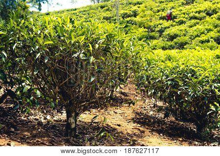 Tea plantations in the highlands around Ella and Nuwara Eliya Sri Lanka. Plantation workers in the background.
