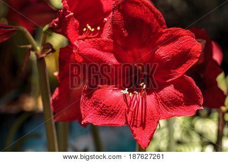 Red Hippeastrum Hybrid Amaryllis Flower