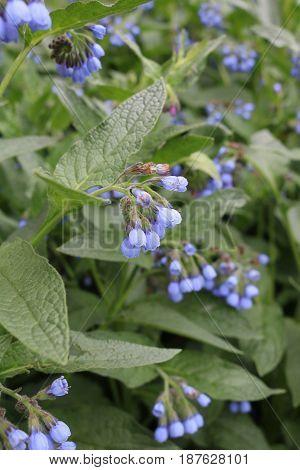 Medunica (Pulmonaria) - a perennial herbaceous plant