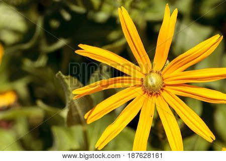 Yellow daisy with long petals blooms in a botanical garden in spring