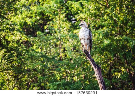 A Crested Hawk Eagle Perched On A Large Branch Surveys It's Surroundings. Early Morning, Udawalawe N