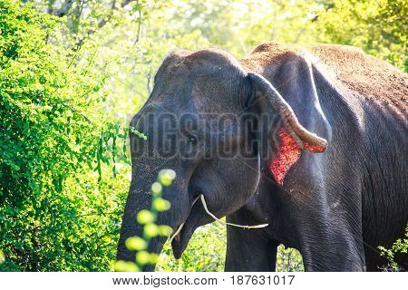 An asian elephant eating breakgfast early in the morning in Udawalawe national park Sri Lanka.