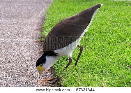 Masked Lapwing Water bird Waterbird water hen bird Australian park pond