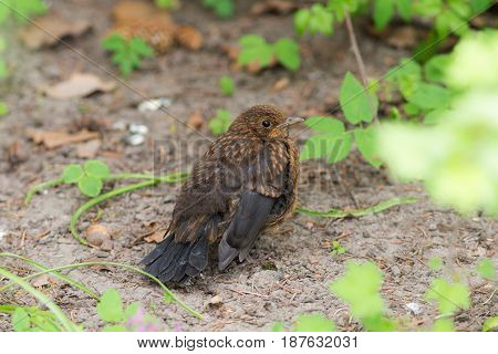 nestling of the starling sits on the ground in the spring