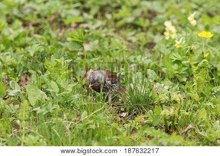 fieldfare with a worm in its beak