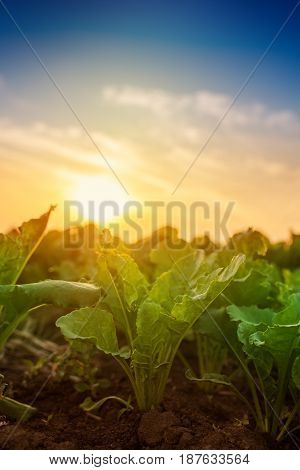 Young sugar beet root crops growing in cultivated agricultural field