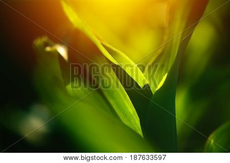 Young corn crop leaves as abstract background growing maize in cultivated field selective focus